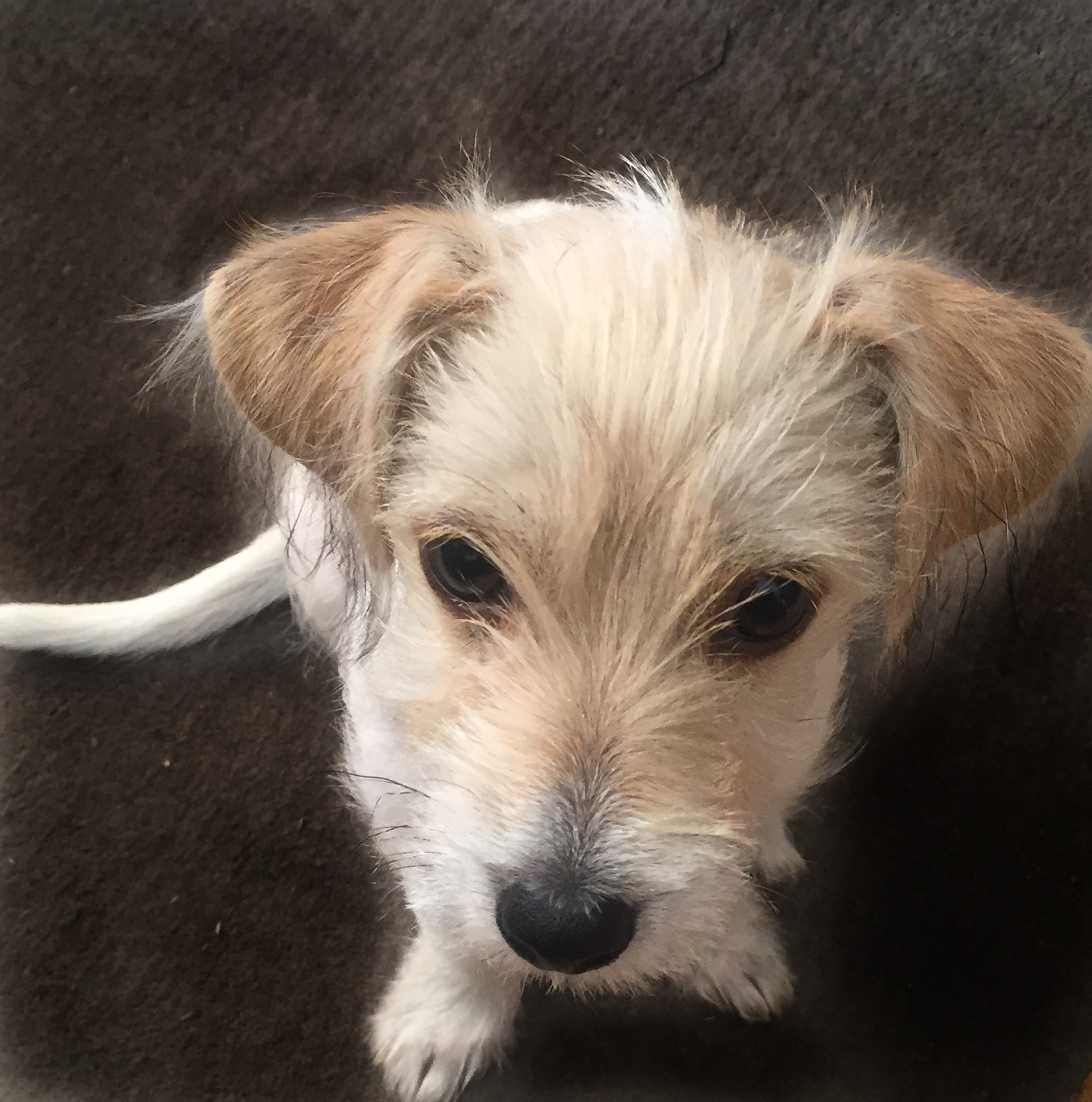 How a Yorkie Russell won our hearts